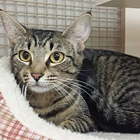Domestic Shorthair Cat for adoption in Edmond, Oklahoma - Kizzie