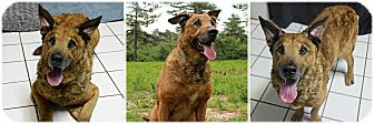 Chesapeake Bay Retriever/Shepherd (Unknown Type) Mix Dog for adoption in Forked River, New Jersey - Malcolm