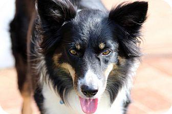 Border Collie Mix Dog for adoption in San Pedro, California - SASHA