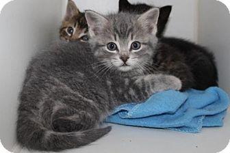 Domestic Shorthair Kitten for adoption in Hamilton, Ontario - Garbo