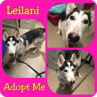 Husky Mix Dog for adoption in Mesa, Arizona - Leilani