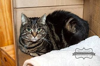 Domestic Shorthair Cat for adoption in Westminster, Maryland - Willow