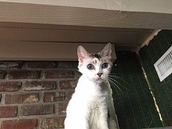 Siamese Cat for adoption in Orange, California - Masuko