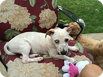Chihuahua/Fox Terrier (Smooth) Mix Puppy for adoption in Chicago, Illinois - Pilot