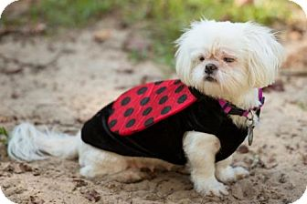 Shih Tzu Dog for adoption in Tallahassee, Florida - Breezy - ADOPTED