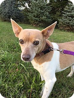 Rat Terrier Mix Dog for adoption in Maryville, Missouri - Fonzy
