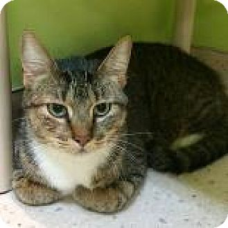 Domestic Shorthair Cat for adoption in Janesville, Wisconsin - Christmas