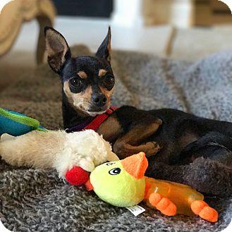 Miniature Pinscher Mix Dog for adoption in Thousand Oaks, California - Minny