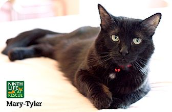 Domestic Mediumhair Cat for adoption in Oakville, Ontario - Mary-Tyler