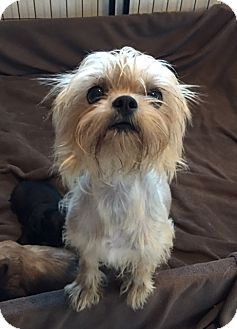 Shih Tzu/Yorkie, Yorkshire Terrier Mix Dog for adoption in Fort Atkinson, Wisconsin - Caitlyn