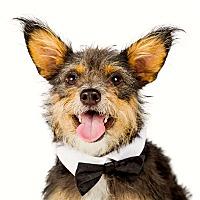 Adopt A Pet :: Yoda - Scottsdale, AZ