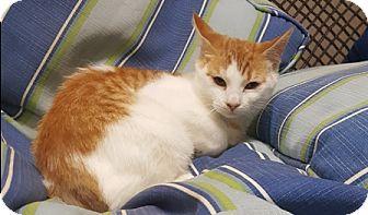 Domestic Shorthair Cat for adoption in Americus, Georgia - Mango