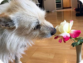 Terrier (Unknown Type, Small)/Pomeranian Mix Dog for adoption in Marina del Rey, California - Fone