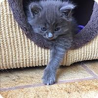 Domestic Mediumhair Kitten for adoption in Denver, Colorado - Hall