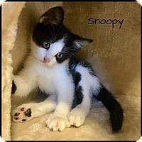 Adopt A Pet :: Snoopy - Jasper, IN