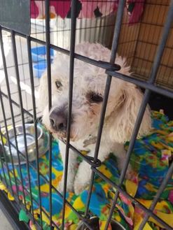 Poodle (Miniature) Mix Dog for adoption in Rio Rancho, New Mexico - Chinto