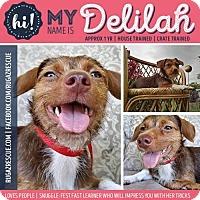 Adopt A Pet :: Delilah - New Port Richey, FL