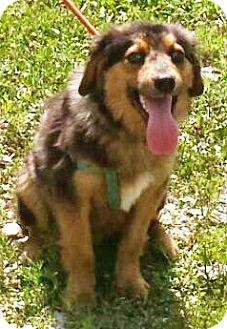 Australian Shepherd Mix Puppy for adoption in Oswego, Illinois - Reggie