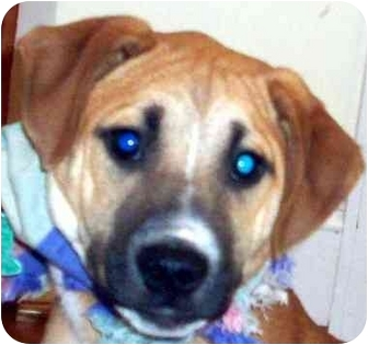Boxer/English Pointer Mix Puppy for adoption in Chapel Hill, North Carolina - Templeton