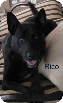 Labrador Retriever/German Shepherd Dog Mix Dog for adoption in Poway, California - Shadow (aka Rico)