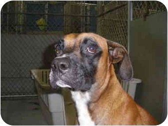 "Boxer Mix Dog for adoption in MARION, Virginia - ""Scout"""