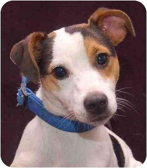 Jack Russell Terrier Dog for adoption in Mora, Minnesota - Krissy