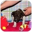 Photo 2 - Australian Cattle Dog/Cattle Dog Mix Puppy for adoption in Broomfield, Colorado - Sharon Stone