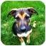 Photo 2 - German Shepherd Dog/Labrador Retriever Mix Puppy for adoption in Southington, Connecticut - Bella