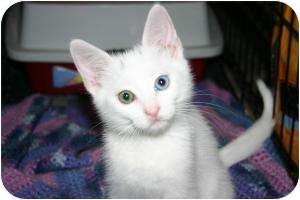 Turkish Angora Kitten for adoption in Tracy, California - Thea-ADOPTED!