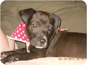 Labrador Retriever/Boxer Mix Puppy for adoption in Bedminster, New Jersey - Cocoa