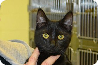 Domestic Shorthair Kitten for adoption in Elyria, Ohio - Oahu