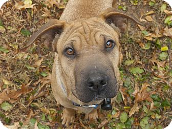 Shar Pei Mix Dog for adoption in Apple Valley, California - Neo