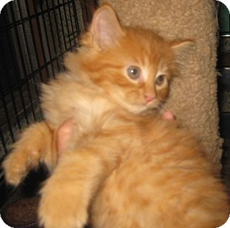 Maine Coon Kitten for adoption in Dallas, Texas - Furling