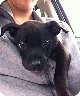 Labrador Retriever Mix Puppy for adoption in Gainesville, Florida - Piglet