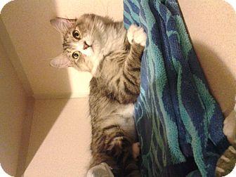 Maine Coon Kitten for adoption in New York, New York - Blizzard