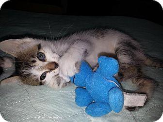 Turkish Van Kitten for adoption in Dallas, Texas - Indy