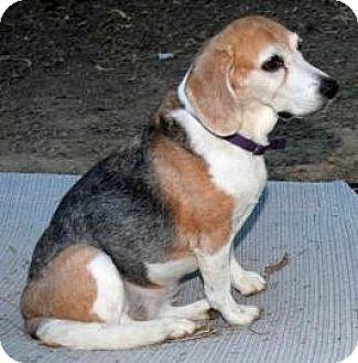 Beagle Mix Dog for adoption in Phoenix, Arizona - Duchess Yuma