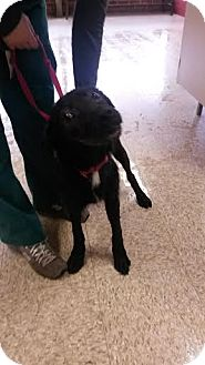 Australian Shepherd/Labrador Retriever Mix Dog for adoption in Auburn, Alabama - Harold