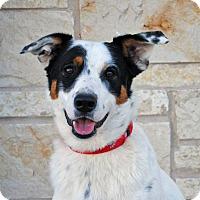 Adopt A Pet :: Trigger - Weatherford, TX