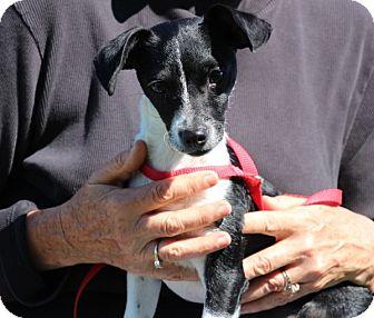 Rat Terrier Mix Puppy for adoption in Elyria, Ohio - Biscuit