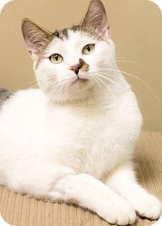 Domestic Shorthair Cat for adoption in Chicago, Illinois - Eddy