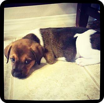 Beagle/Labrador Retriever Mix Puppy for adoption in Grand Bay, Alabama - Larson