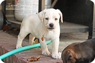 Dachshund/Basset Hound Mix Puppy for adoption in Aiken, South Carolina - Dallas