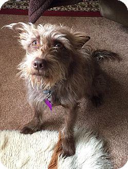 Wirehaired Pointing Griffon/Scottie, Scottish Terrier Mix Dog for adoption in Santa Barbara, California - HOUDINI