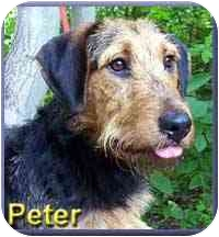 Airedale Terrier Mix Dog for adoption in Aldie, Virginia - Peter