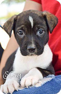 Mixed Breed (Medium) Mix Puppy for adoption in DFW, Texas - Ebony