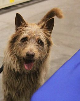 Schnauzer (Standard) Mix Dog for adoption in Lexington, Kentucky - Chloe