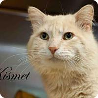 Adopt A Pet :: Kismet - Middleburg, FL