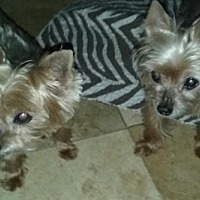 Yorkie, Yorkshire Terrier Dog for adoption in Gainesville, Florida - Tigger & Trouble (FL)