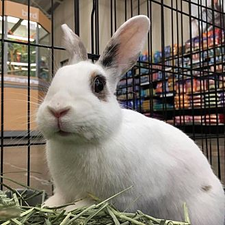 Blanc de Hotot Mix for adoption in Los Angeles, California - Tinker